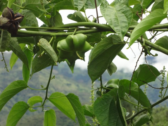 Sachi Inchi Plant and Landscape 1